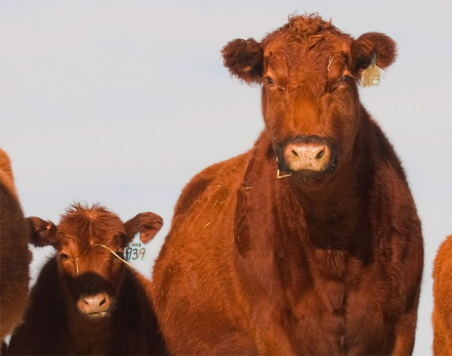 Last year's mad cow case did not have the same dire implications for the Canadian beef industry as the 2003 mad cow scare, which saw 40 countries close their borders to Canadian beef