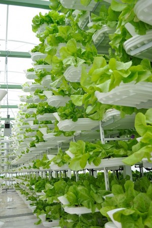 Similar vertical farming techniques in use by Vancouver-based VeriCrop. PHOTO: Valcenteu, via Wikimedia Commons