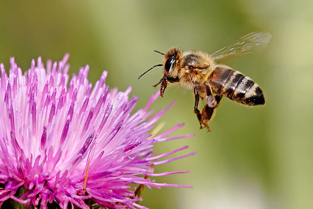 Honeybees are responsible for 80 per cent of the pollination in crops that feed one-third of the world's population. PHOTO: 	Fir0002, via Wikimedia Commons