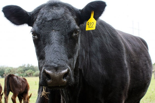 A Black Angus used in beef production. PHOTO: Jennifer Campbell, via Wikimedia Commons