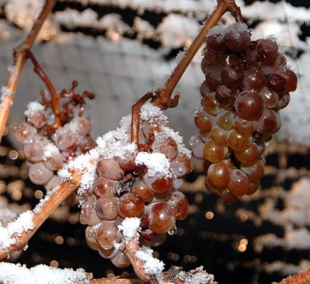 Icewine grapes in Ontario's Niagara region. Canada is one of the few countries in the world with a wine-growing region that experiences temperatures cold enough to produce the sweet drink. PHOTO: Dominic Rivard, via Wikimedia Commons