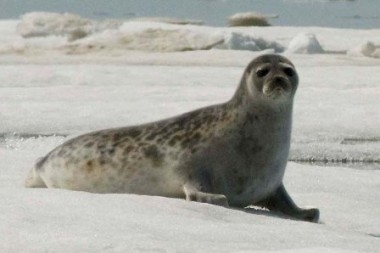 Inhabiting arctic regions in Canada and beyond, ringed seals are hunted both for subsistence and for the skins. PHOTO: NOAA Seal Survey