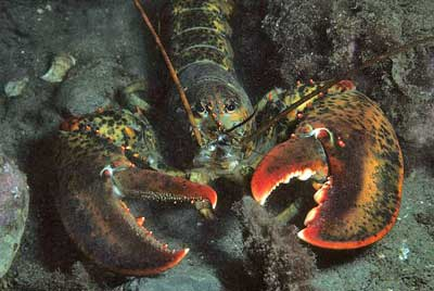 An American Lobster, common across the Atlantic coast of the U.S. and Canada. PHOTO: Derek Keats, via Wikimedia Commons