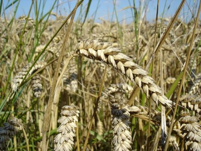 The five-year research collaboration will be funded by the Western Grains Research Foundation and Agriculture and Agri-Food Canada. PHOTO: Bluemoose, via Wikimedia Commons