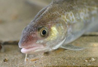 A young Atlantic cod. The species' population in the northwest Atlantic was pushed to the breaking point in the early '90s. PHOTO: Hans Hillewaert, via Wikimedia Commons