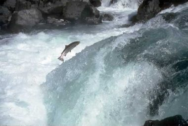 The Haida Gwaii salmon project was aimed at restoring waning salmon stocks along Canada's west coast