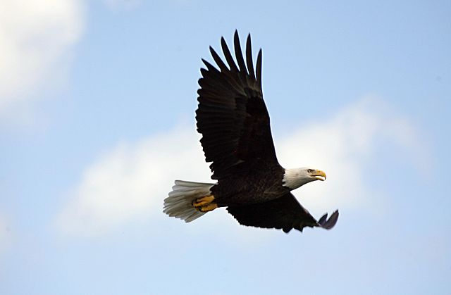 Wind towers, power lines, buildings, cars and trucks are said to be responsible for 500 bald and golden eagle deaths per year. PHOTO: NASA/Gary Rothstein