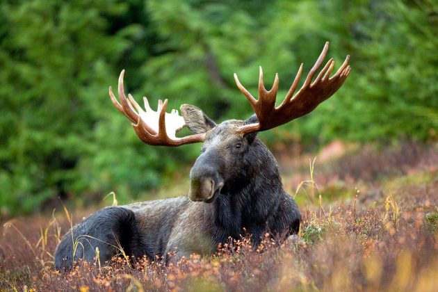 A male moose. PHOTO: Ryan Hagerty, United States Fish and Wildlife Service