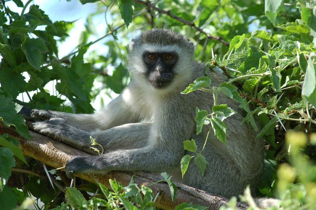 A monkey similar to the vervet pictured above reportedly caused a nationwide blackout in Kenya. PHOTO: Joachim Huber (CC BY-SA 2.0)