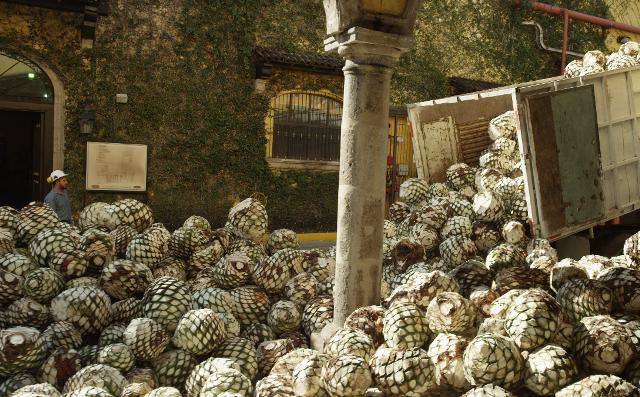 Growing in hot and arid regions, Ford hopes to use agave—a plant used to distill tequila—to make bioplastics for car parts. PHOTO: Ford