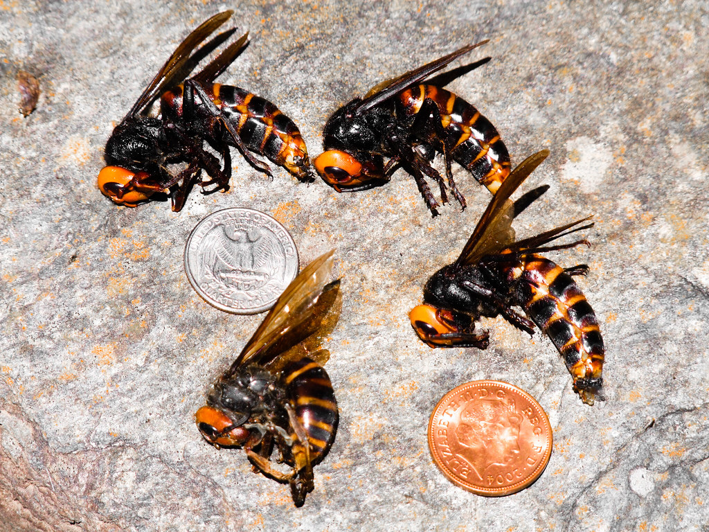 Our fear of giant hornets is oversized — and threatens ...